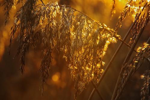 gold rushes nature plants sunset light