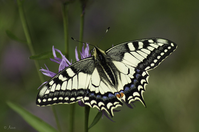 Pääsusaba (Papilio machaon)