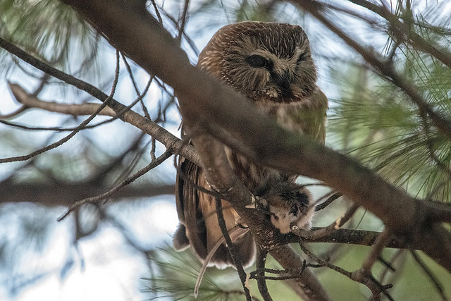 Central Park: Northern Saw-whet Owl with Mouse