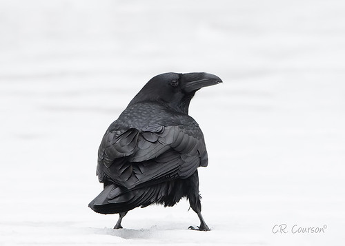 Common Raven | by CR Courson