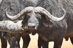 Buffalo Ngorongoro National Park - Tanzania