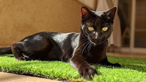 Selva, gatita Pantera guapa, estilizada y divertida esterilizada, nacida en Mayo´16, en adopción. Valencia. ADOPTADA. 45287892044_ba254b3514