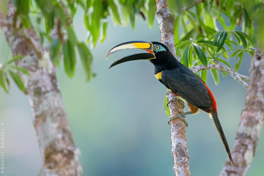 Many-banded Aracari. Arasarí Fajado. Pteroglossus pluricinctus