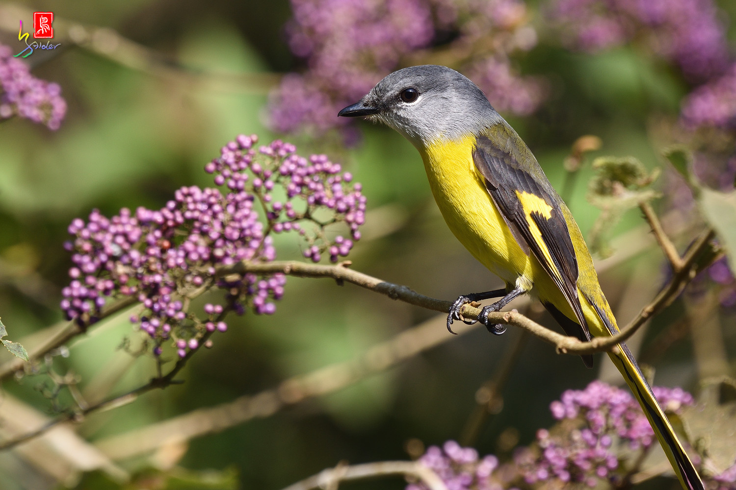 Grey-chinned_Minivet_8726