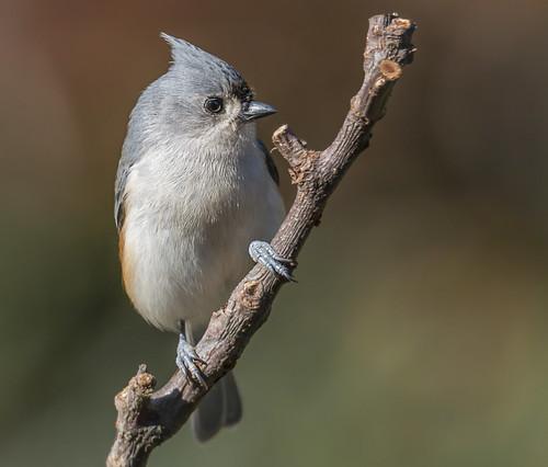 ronmayhew canoneos70d tuftedtitmouse bird coth alittlebeauty specanimal coth5 natureinfocusgroup