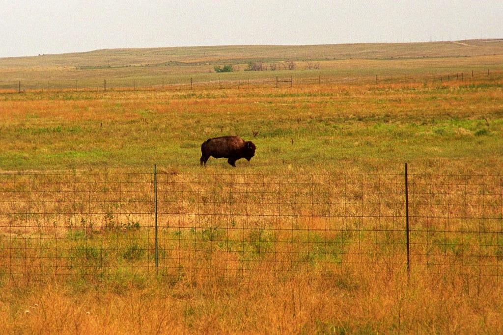 Bison 1 | A bison near Badlands National Park, South Dakota