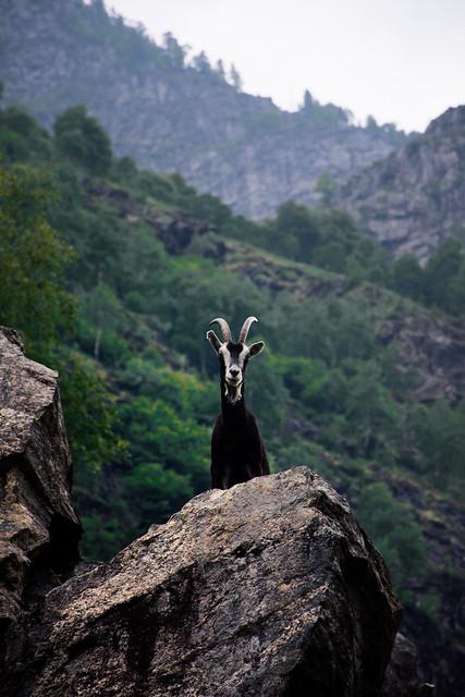 Val Codera - Goat
