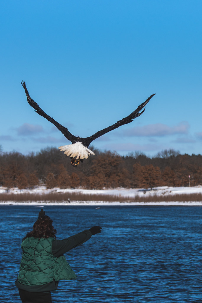 A bald eagle spreads it's wings and flies from a woman with open arms