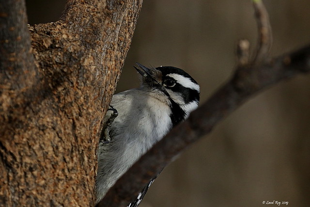 1.09841 Pic mineur / Picoides pubescens medianus / Downy Woodpecker