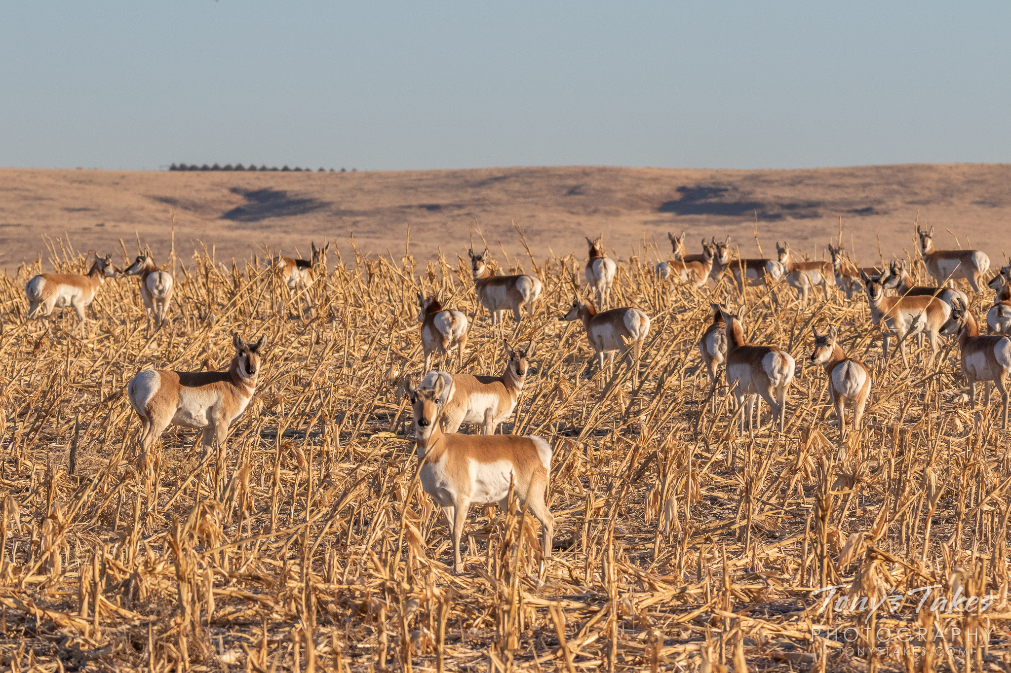 A herd of Pronghorn keeps close watch while on the plains of Colorado. (© Tony's Takes)