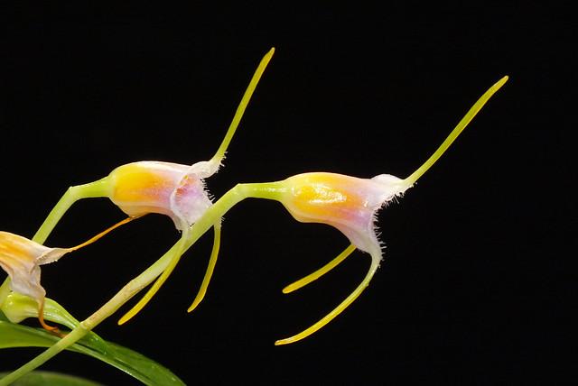 Orchid (Masdevallia (Masdevallia) paivaeana) flowers