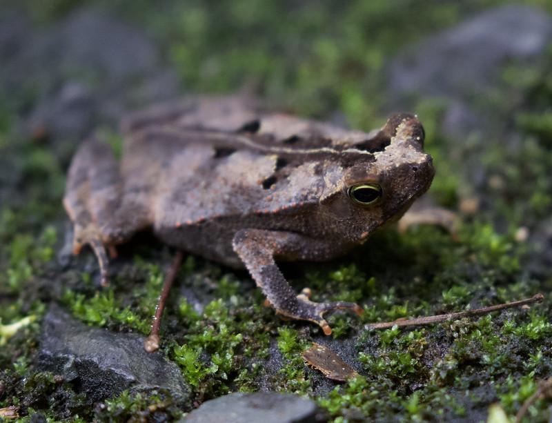 Rhinella sp, Leaf Frog Ascanio_Panama 199A8735