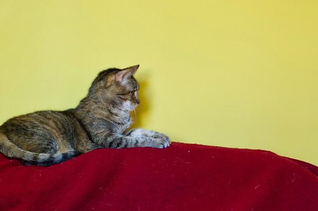 Lazy the Cat