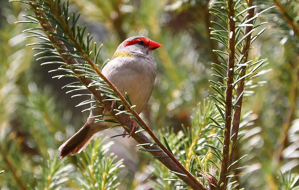 Red Browed Finch - Batemans Bay 261018 (6f)