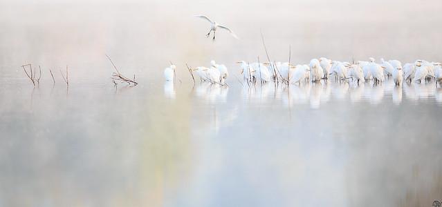 Hérons Garde-boeufs / Western Cattle Egrets