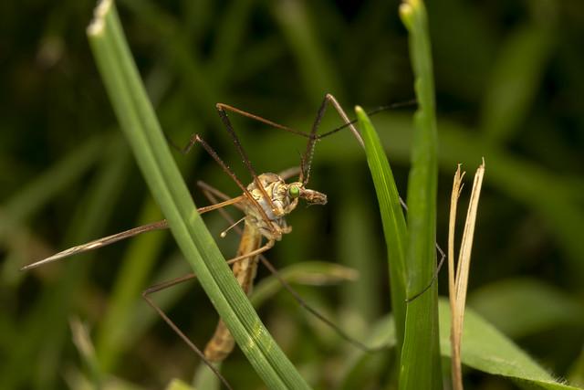 Crane fly (lat. Tipula vernalis) 2/2