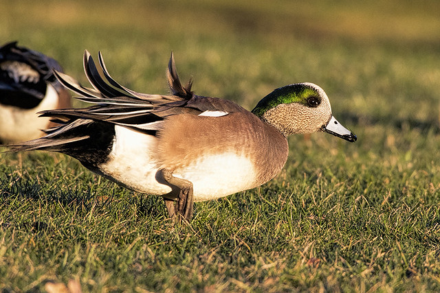 NJ: American Wigeon at Dinner