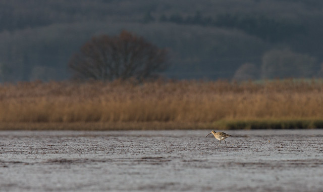 Curlew on the Mud