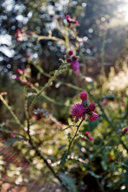 bokeh with thistles