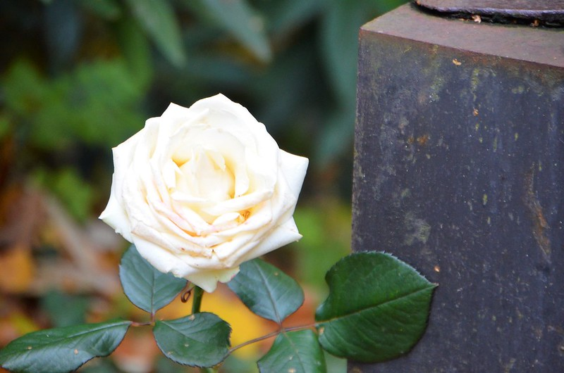 Rose 08.11.2018