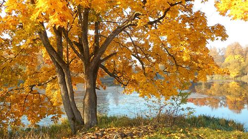 lake yellow leaves autumn maple