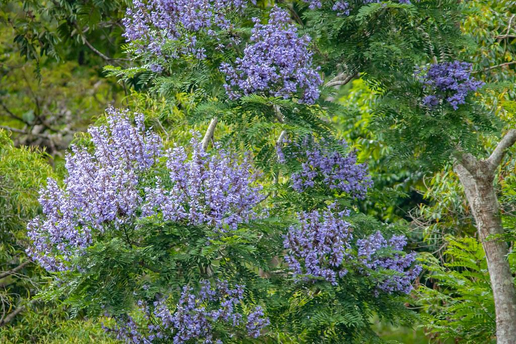 Jacaranda copaia (a jacaranda) - Bignoniaceae - Gamboa, Soberiana NP, Panama