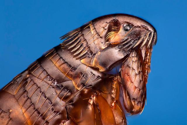 Cat flea