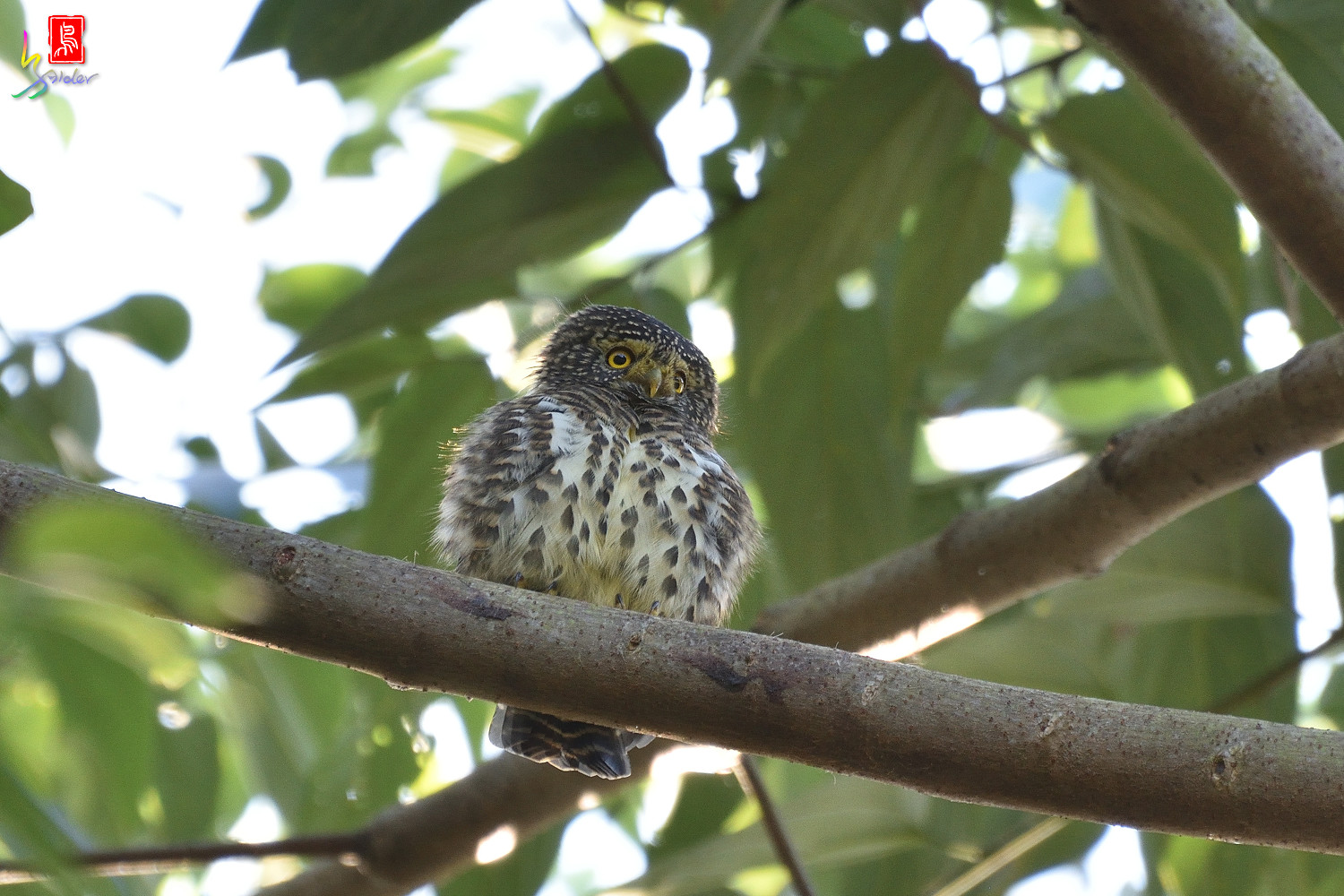 Collared_Owlet_4701_RAW