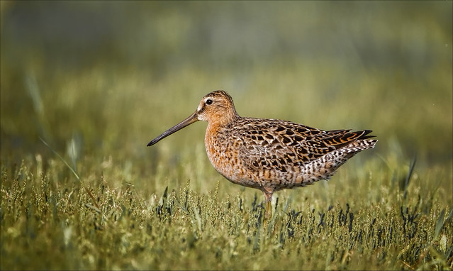 Every Dowitcher Way But Loose
