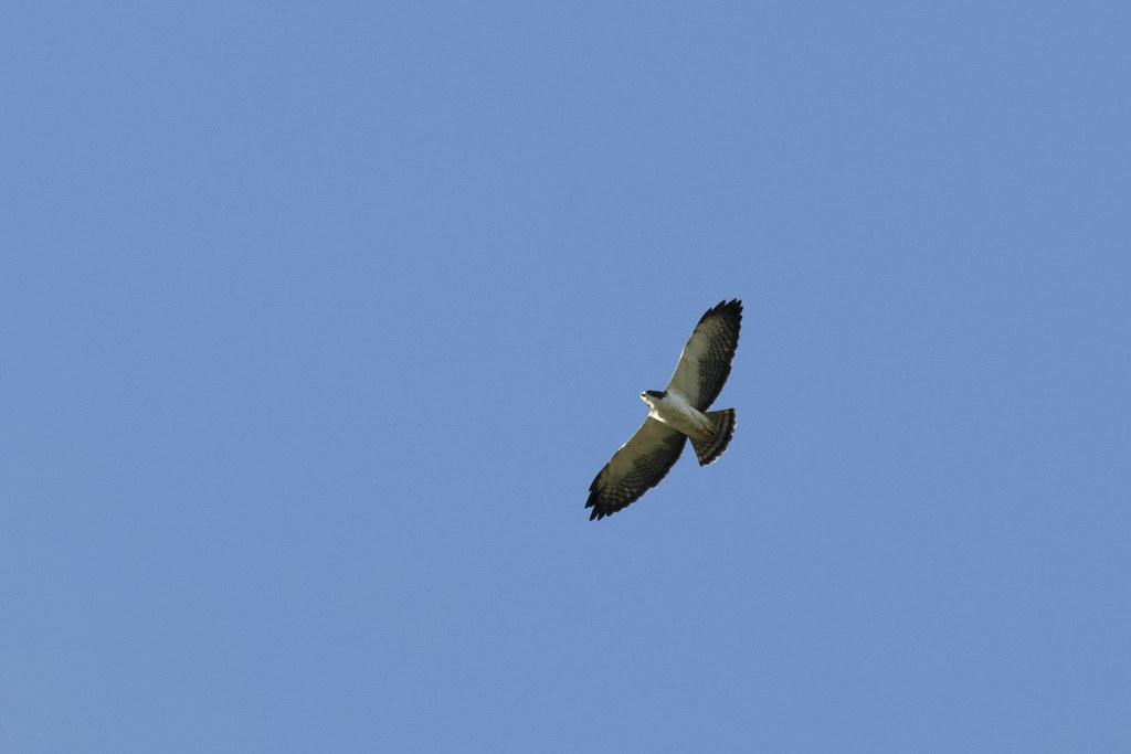 Buteo brachyurus / Short-tailed Hawk