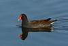 Common Moorhen by NP Rothman