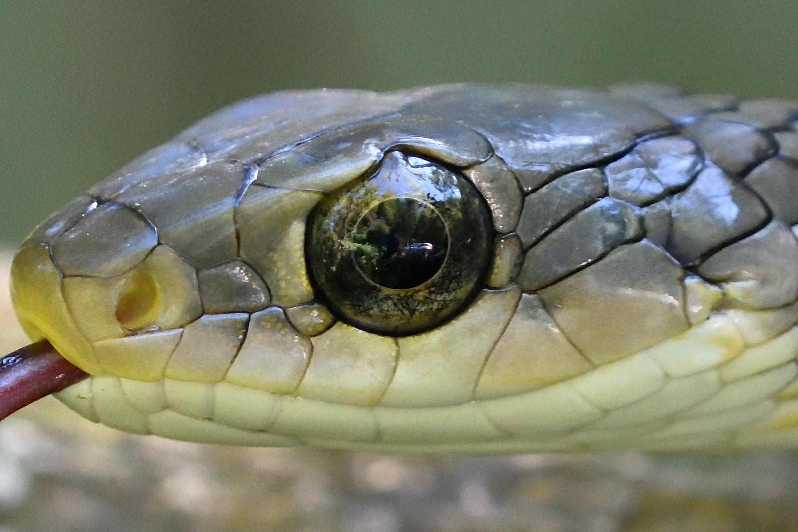 Snake_6366_O