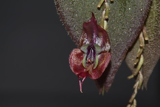 Lepanthes gargoyla | by F.K. Pictures