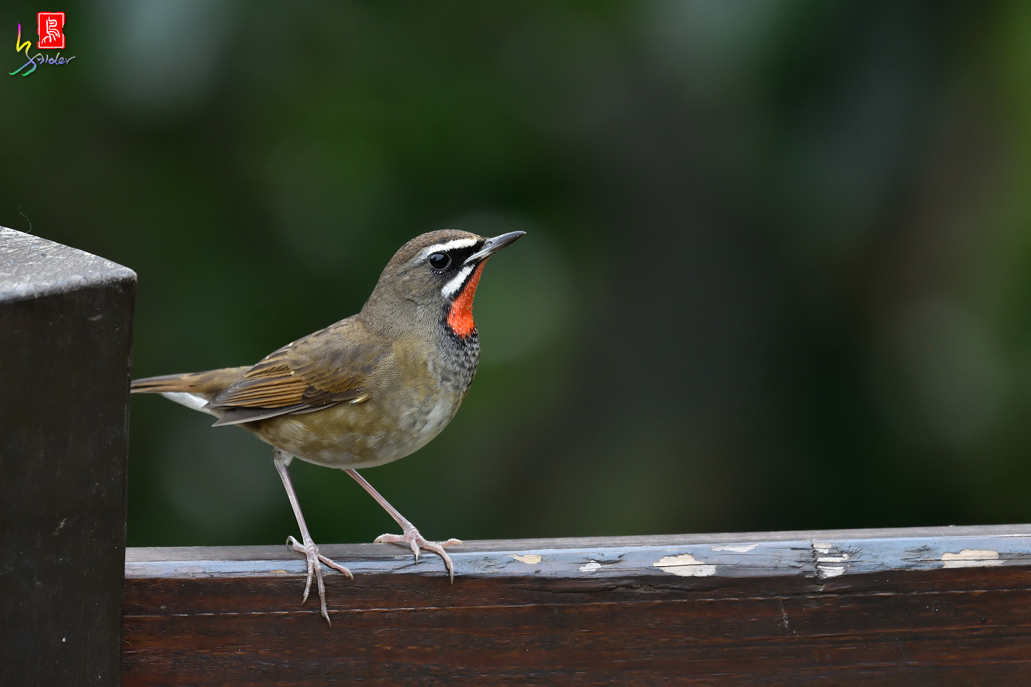 Rubythroat_8474