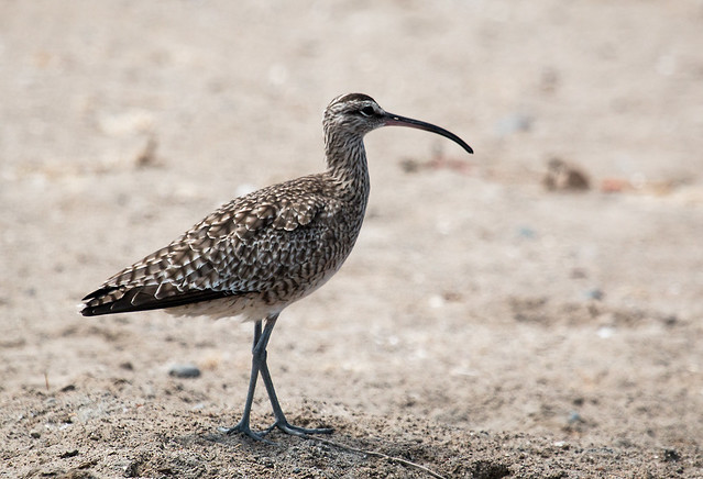 IMG_4759   Whimbrel