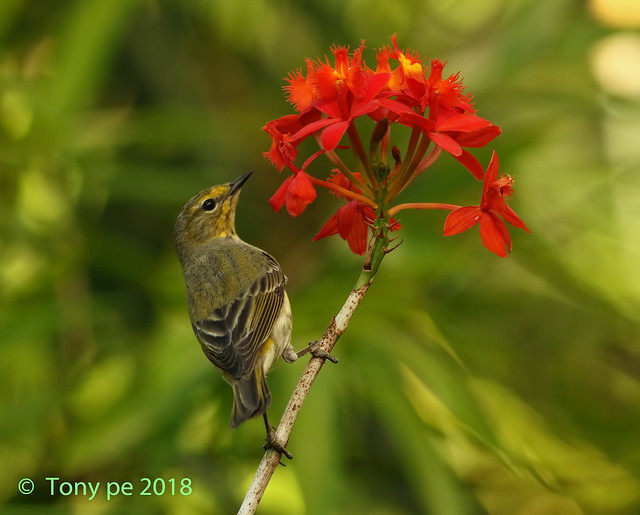 Cigüita Tigrina - Setophaga tigrina -Cape May Warbler
