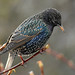 European Starling - Photo (c) Jürgen Mangelsdorf, some rights reserved (CC BY-NC-ND)