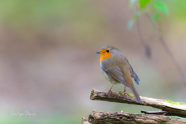 Fier Robin ....