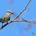 Tropical kingbird - Tyran mélancolique  - Tirano tropical - Tyrannus melancholicus