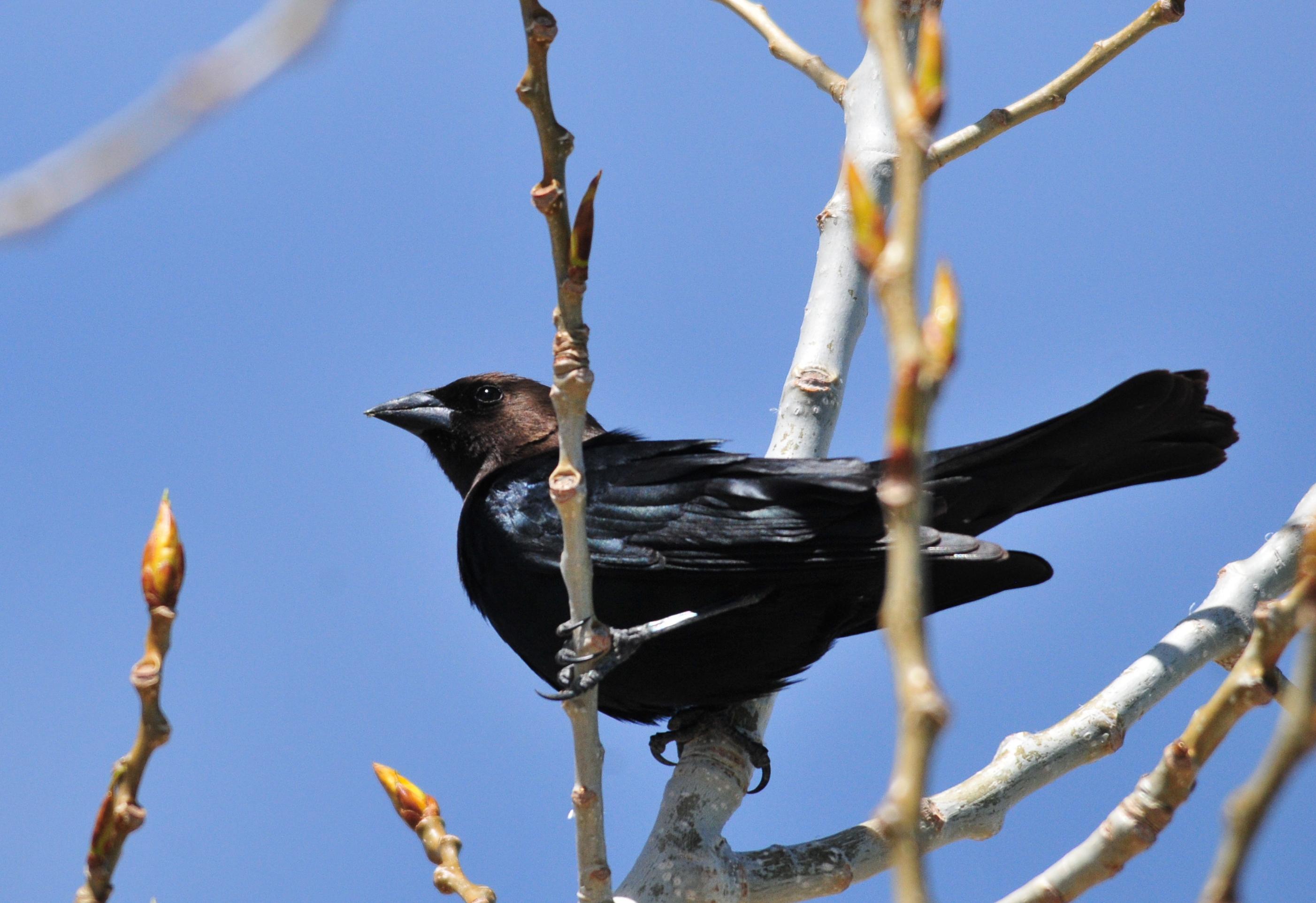 Brown_Headed_Cowbird_on_Seedskadee_National_Wildlife_Refuge_USFWS