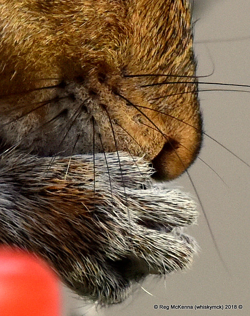 02-DSC_054520-DSC_0401 - Grey Squirrel (Sciurus carolinensis)