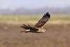 Swamp Harrier Circus approximans by Neil Cheshire