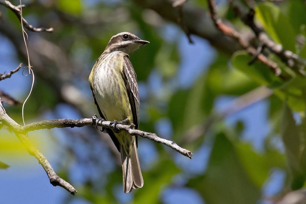 Piratic Flycatcher (Legatus leucophaius)