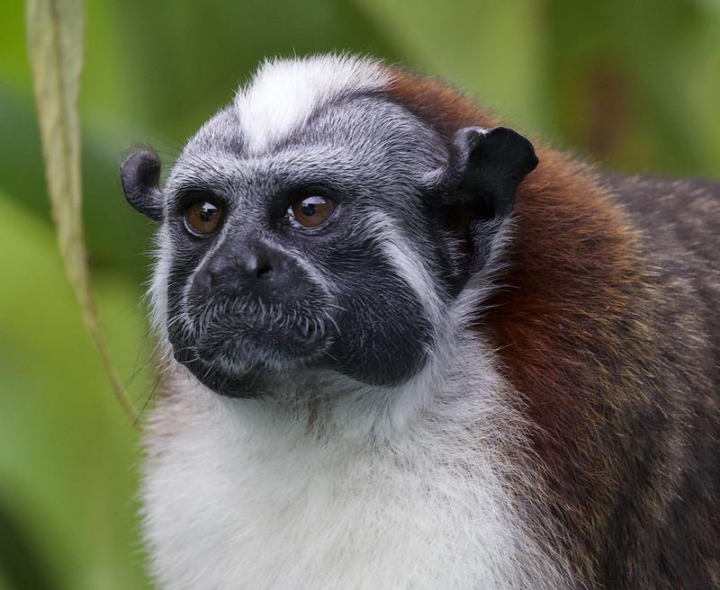 Geoffroy's Tamarin, Saguinus geoffroyi Ascanio_Panama 199A8305