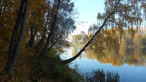 like birch autumn reflection