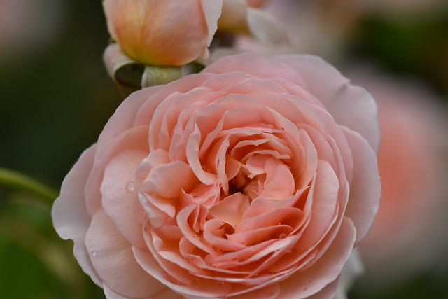 Rose 'Evelyn' raised in UK