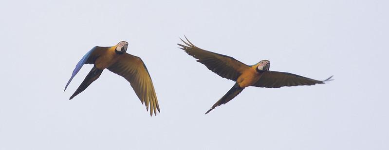 Blue-and-yellow Macaw, Ara ararauna Ascanio_Peruvian Amazon 199A6286