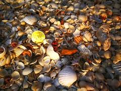 coin among seashell
