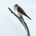 Flickr photo 'American Kestrel (Falco sparverius) with anole' by: Mary Keim.