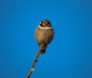 Hawk Owl | by freddurkin